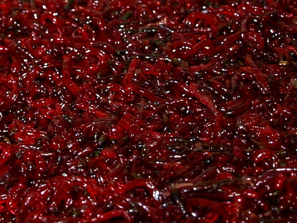 Sealed Live Bloodworm (Large Size)