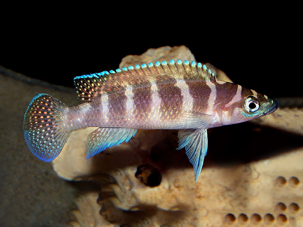 Neolamprologus cylindricus