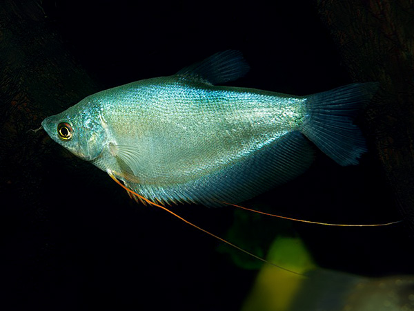 Trichopodus microlepis «Silver»