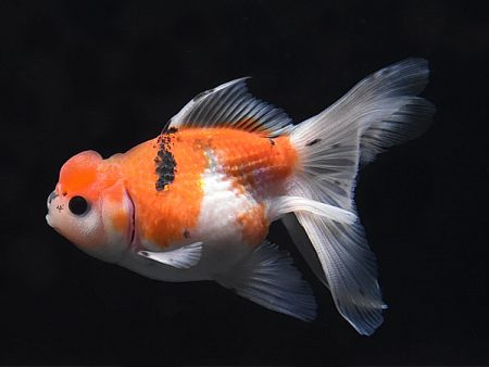 Goldfish Crown Pearlscale Calico