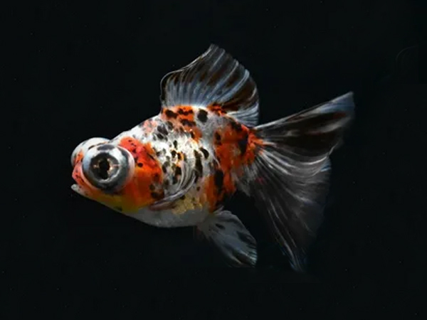 Goldfish Butterfly Calico