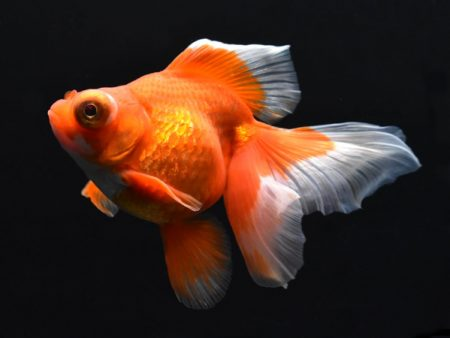 Goldfish Butterfly Red & White