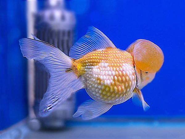Goldfish Crown Pearlscale Yellow