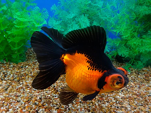 Goldfish Butterfly Red Black