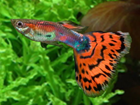 Variegated Guppy Pair