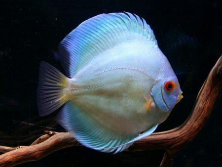 Discus Brilliant