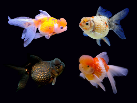 Goldfish Crown Pearl Scale Assorted
