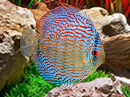 Discus Giant Floral