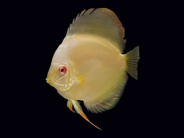 Discus Albino Yellow Melon