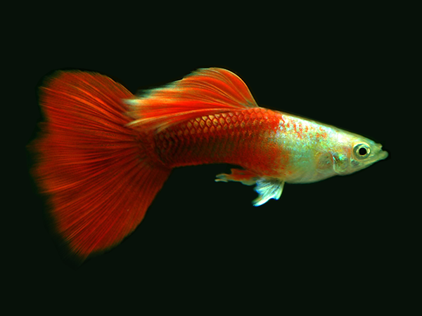Guppy Platinum Red Tail (Male)
