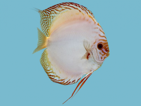 Discus White Butterfly
