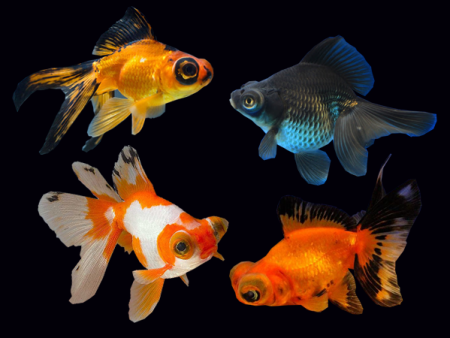 Goldfish Butterfly Assorted