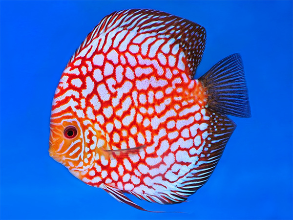 Discus Checkerboard