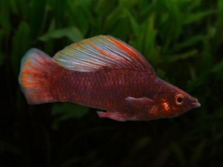 Chocolate Sailfin Molly (Male)