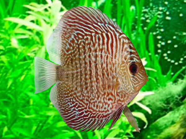 Discus Snakeskin Red