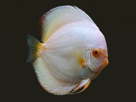 Discus Albino White Butterfly