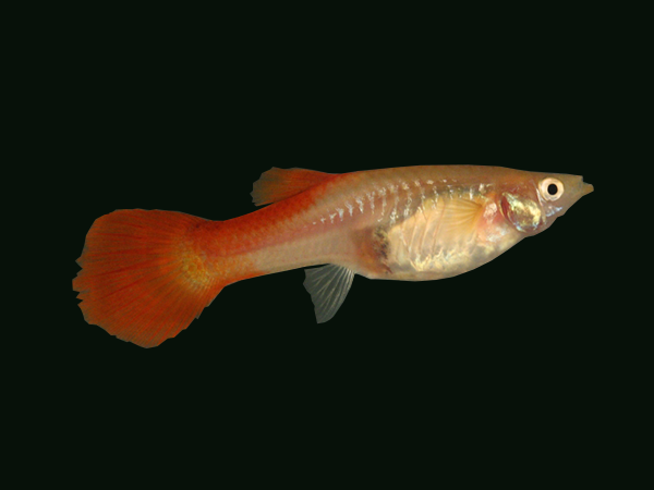 Guppy Platinum Red Tail (Female)