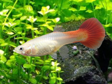 Guppy Blonde Red Tail (Female)