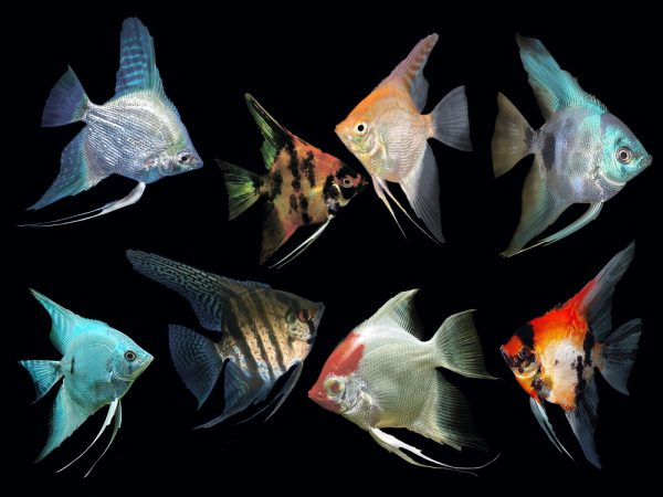 Assorted Angelfish