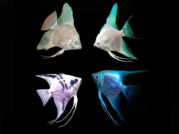 Assorted Diamond Angelfish