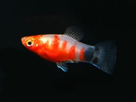 Bleeding Heart Moon Platy