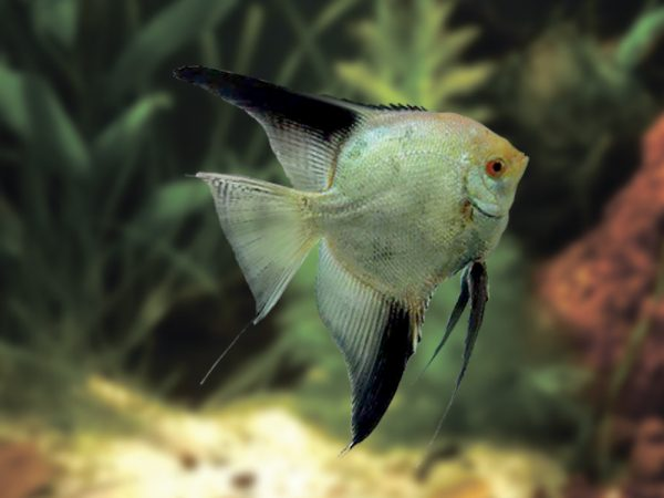 Bulgarian Seal Angelfish