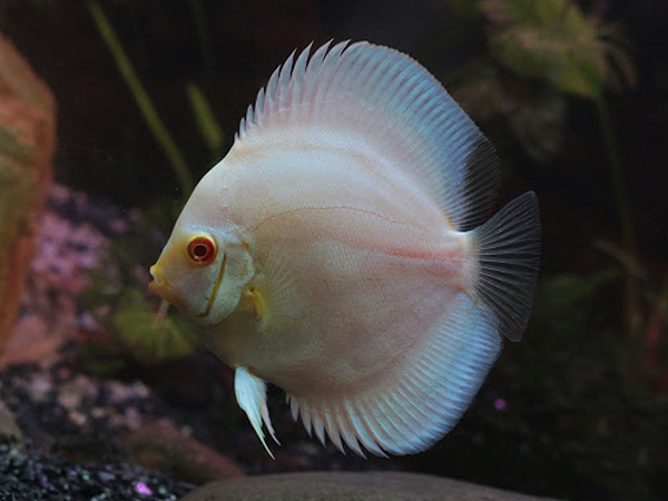 Discus Blue Diamond «Albino»