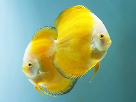 Discus Golden Yellow White