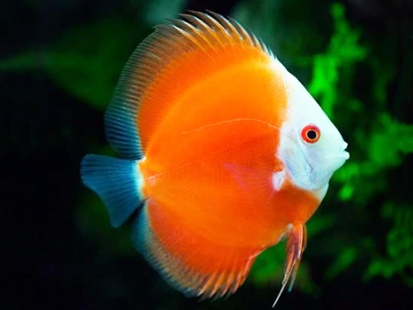 Discus Orange Melon