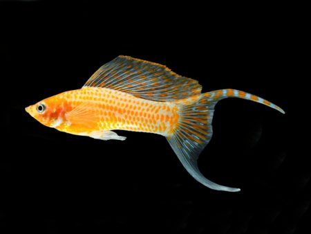 Gold Diamond Lyretail Sailfin Molly