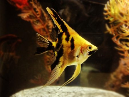 Diamond Golden Marble Angelfish