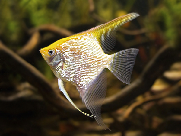 Golden Angelfish