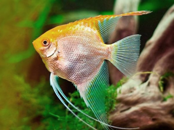 Golden Red Face Angelfish