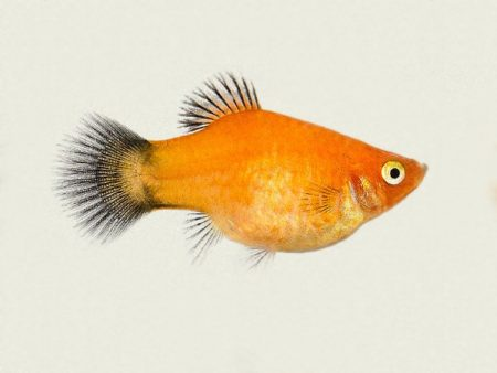 Golden Wagtail Platy