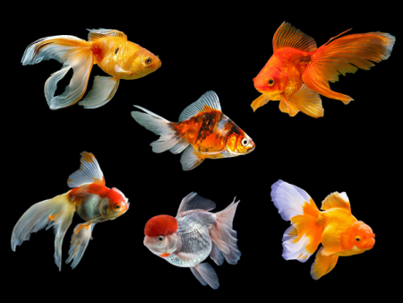 Goldfish Fantail Assorted