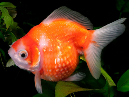 Goldfish Pearl Scale Red White