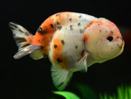 Goldfish Ranchu Calico