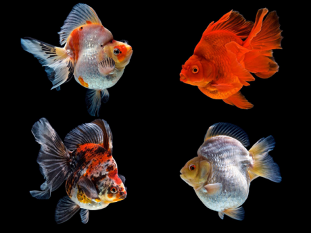 Goldfish Ryukin Assorted