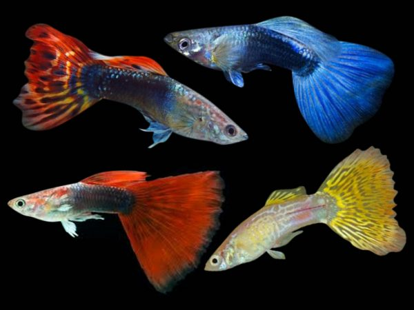Guppy Assorted (Male)