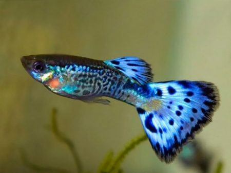 Guppy Blue Snakeskin