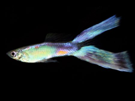 Guppy Green Neon Lyretai