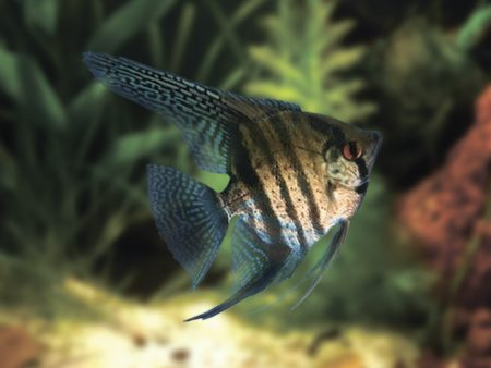 Lace Angelfish