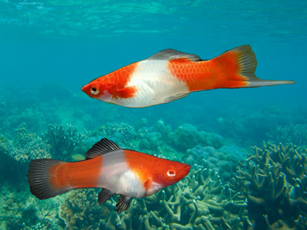Pair of Red & White Swordtail