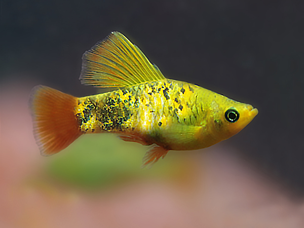 Pair of Variatus Calico Highfin Platy