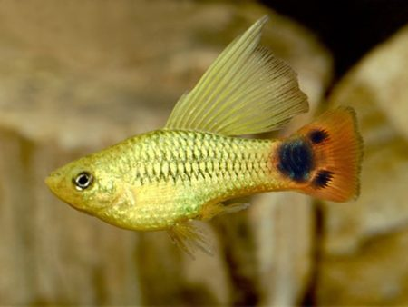 Pair of Variatus Gold Mickey Mouse Highfin Platy