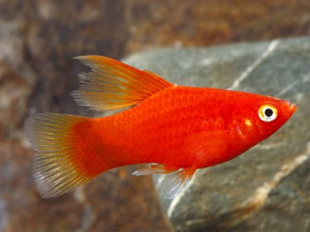 Pair of Variatus Red Highfin Platy