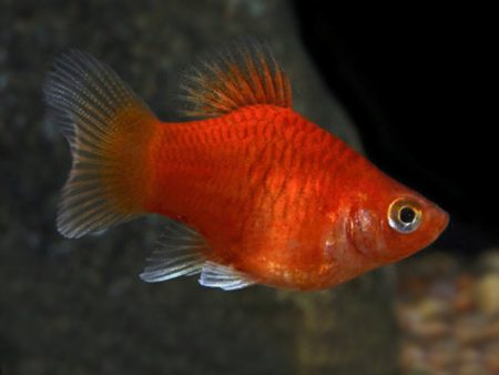 Red Balloon Platy