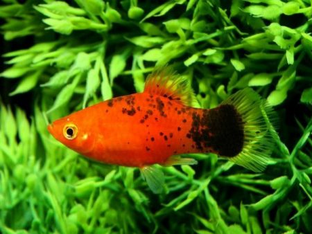 Red Calico Platy