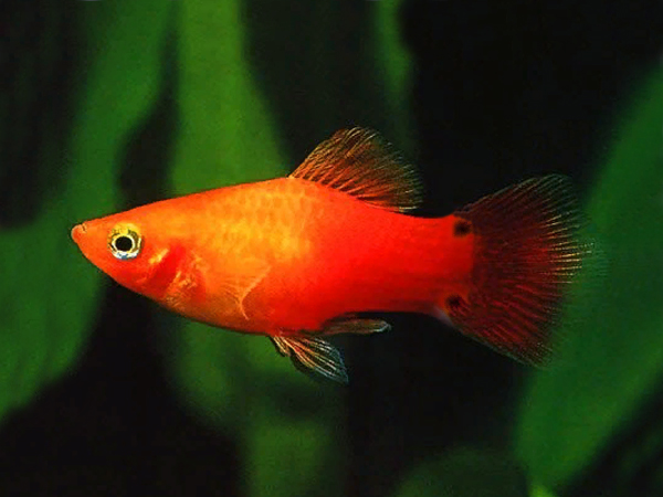 Red Moon Platy