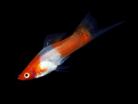 Red & White Swordtail